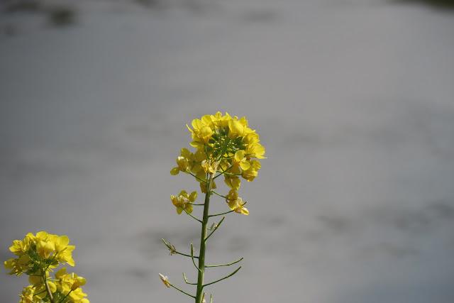 ズームアップして見た菜の花