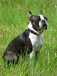 Black and White Boston Terrier in sitting position