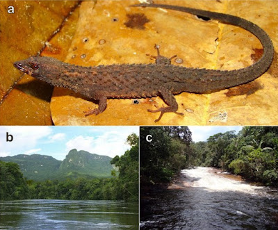 Herpetology • 2021] Kataphraktosaurus ungerhamiltoni • Discovery of An Additional Piece of the Large Gymnophthalmid Puzzle: A New Genus and Species of Stream Spiny Lizard (Gymnophthalmidae: Cercosaurinae) from the western Guiana Shield
