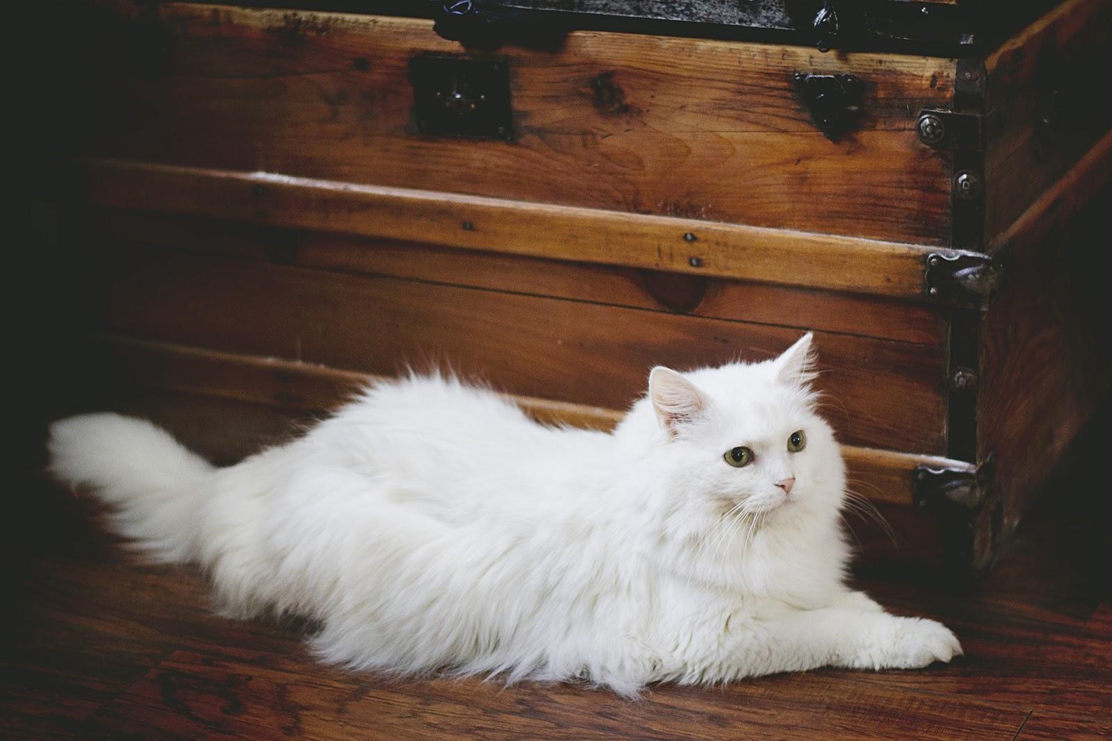 persian cat,cat images