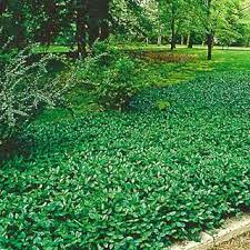 Tn Nursery Blog Ground Covers Have Many Exception Uses In