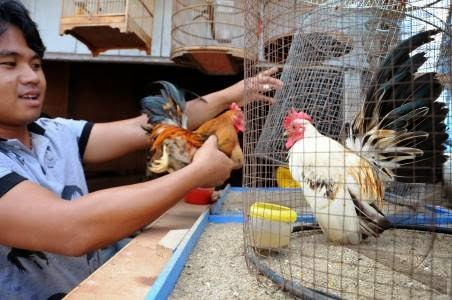 Ayam Hias