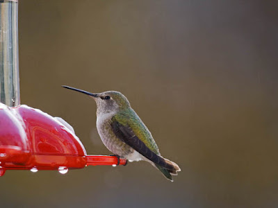 Photo of a female Anna's Hummingbird at a feeder