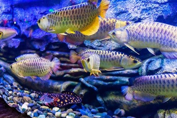 Asian Arowana Fish Care Guide and Breeding
