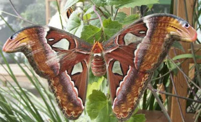 kupu-kupu raksaksa dari 121 jenis kupu-kupu