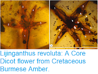 https://sciencythoughts.blogspot.com/2018/11/lijinganthus-revoluta-core-dicot-flower.html