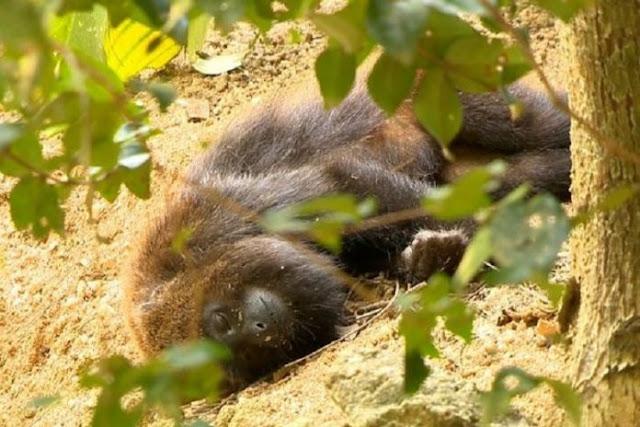 Mais oito mortes de macacos são confirmadas no Paraná. Um caso em Santa Maria Do Oeste