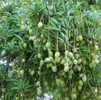 Klasifikasi ilmiah tanaman mangga