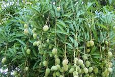 Mangga (Mangifera indica L)