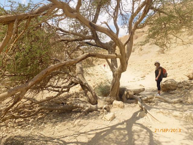 עץ במסלול נחל ערוגות