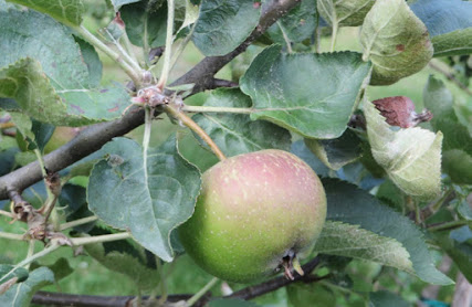 Unripe apple on the branch, faintly blushed
