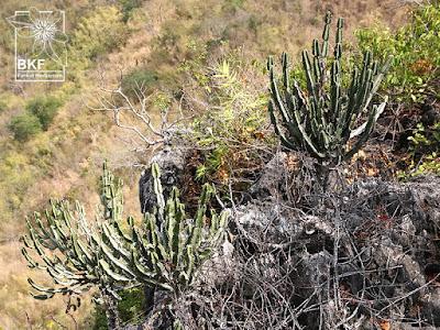 ต้นสลัดไดป่า (กะลำพัก, สลัดได) สมุนไพร Euphorbia-antiquorum