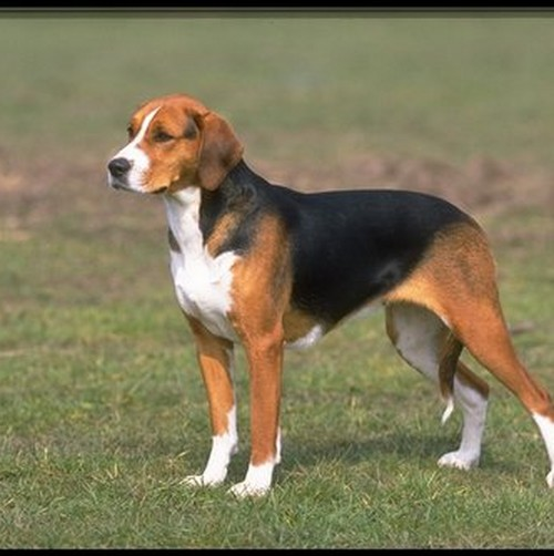 English Foxhound Favorite Pet of Napoleon III ...