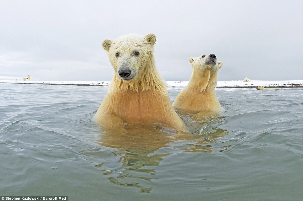 White Wolf : Arctic Bears Get Up Close In Stunning Images