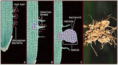 pembentukan bintil akar