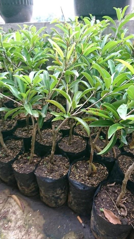 Bibit tanaman sawo jumbo hasil stek cepat berbuah Papua Barat