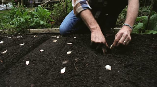 Como plantar alho - Furando a terra