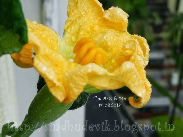 Close-up view of bathed female pumpkin flower