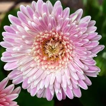 शेवंती, Chrysanthemum Flowers Name In Marathi