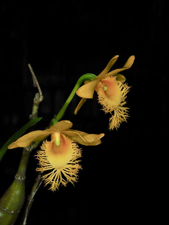 Dendrobium brymerianum
