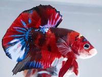 Nama nama ikan cupang