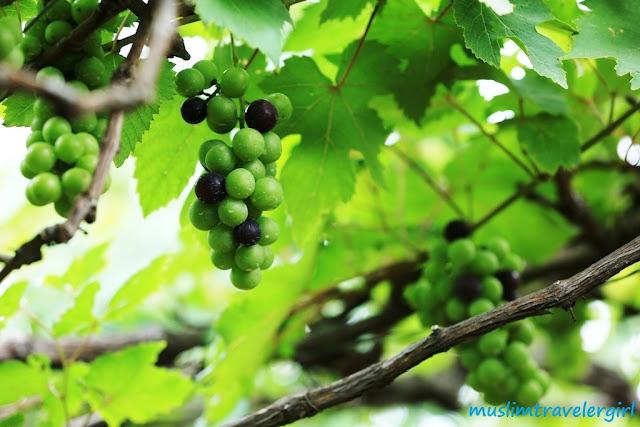 kebun anggur di bali