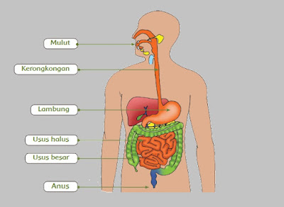 Gambar Sistem Pencernaan Pada Manusia