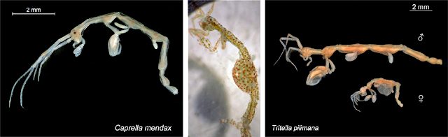 Skeleton shrimp microscope images