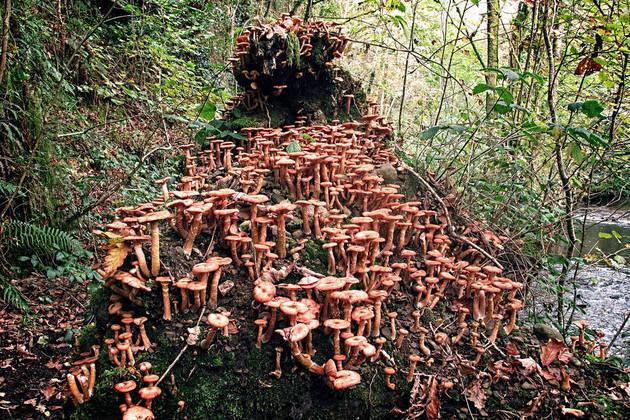 honey mushroom, honey fungus, armillaria, honey mushrooms, honey mushroom fungus, honey fungus mushroom, amarilla mushroom, honey fungi, armillaria fungus, armillaria fungi, armillaria mushroom, the honey mushroom, honeycup mushrooms, honey fungus edible, honey cap mushroom, mushroom honey, the honey fungus, armillaria species, honey mushroom edible, honey fungus roots,