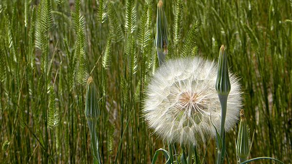 Giant Salsify amongst Western Wheatgrass