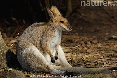 Wallaby látigo (Macropus parryi)