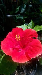 Hibiscus (Rumah Bunga Neisha)