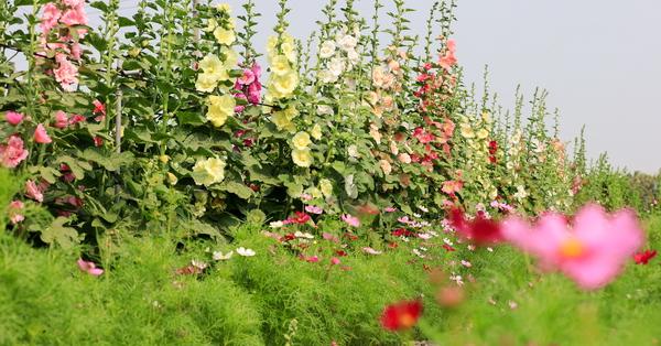彰化員林蜀葵花季移師西區公園,各種顏色蜀葵爭奇鬥艷,免費參觀