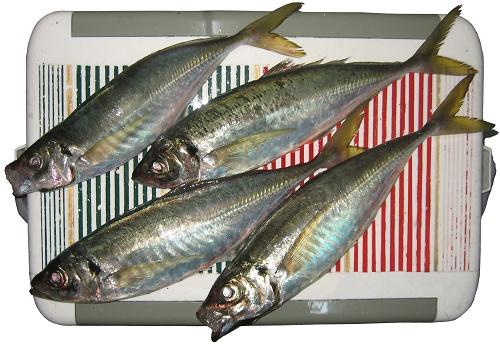 関西の船釣りで釣れる 竿とリール 和歌山 鬼アジ