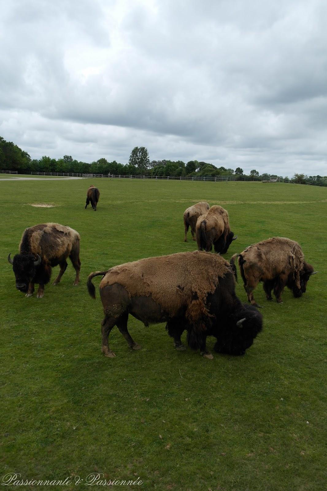 Les bisons chez planète sauvage