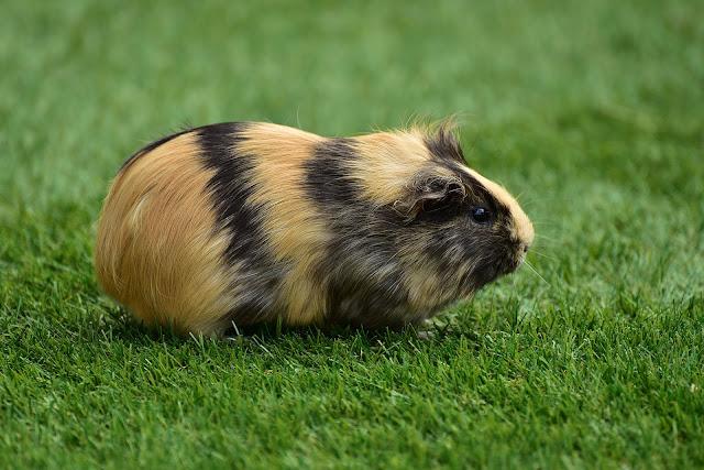 Cavia achtergrond met een mooie bruin zwarte cavia alleen op het gras