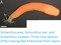 https://sciencythoughts.blogspot.com/2019/01/scolanthus-ene-scolanthus-isei-and.html