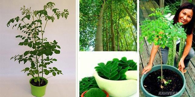 odada moringa ağacı fidanı bakımı - www.kahvekafe.net