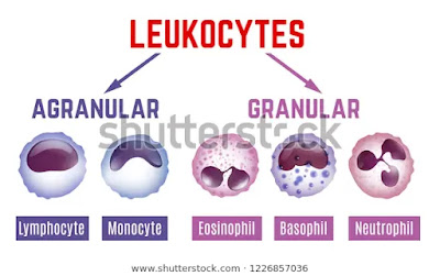 Types of WBCs, Granulocytes and Agranulocytes