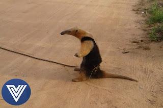 http://vnoticia.com.br/noticia/2977-tamandua-mirim-e-encontrado-por-moradores-em-bote-zona-rural-de-sfi