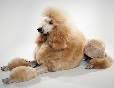 Poodle breed charcteristics