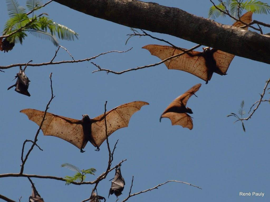 Amazing Magazine: Giant golden-crowned flying fox