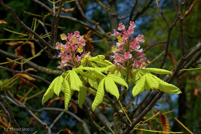 kasztany kwitną jesienią