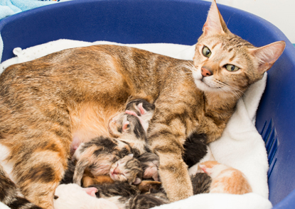 brown tabby cat with a litter of newborn kittens