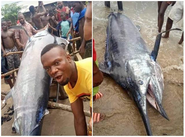 Nigerian Man Catches, Eats Blue Marlin Fish Worth $2.6 Million In Warri