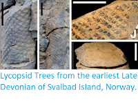 https://sciencythoughts.blogspot.com/2016/02/lycopsid-trees-from-earliest-late.html
