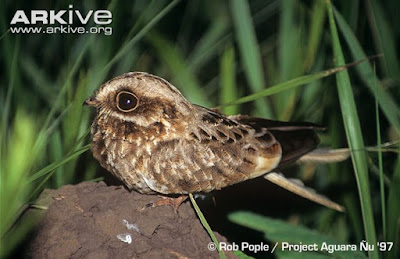 White winged Nightjar