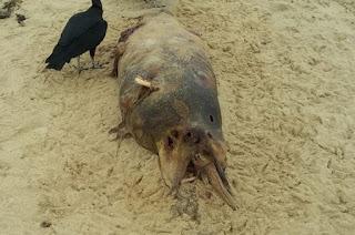 http://vnoticia.com.br/noticia/2241-golfinho-em-decomposicao-aparece-na-praia-de-santa-clara