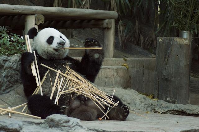 Panda-Cina-bambù