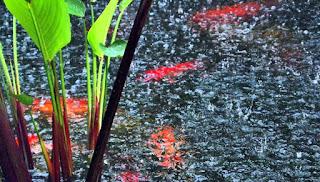 Menjaga Kolam Ikan Koi Saat Musim Hujan